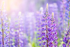 Blooming lupine flowers. A field of lupines.  Violet spring and summer flowers. Royalty Free Stock Photography