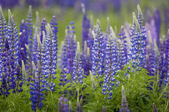 Blooming Lupine flowers - Lupinus polyphyllus - garden or fodder. Plant stock images