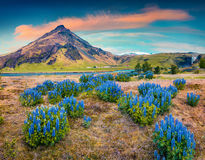 Blooming lupine flowers near majestic Skogafoss waterfall in sou Stock Photos
