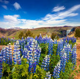 Blooming lupine flowers near majestic Skogafoss waterfall Royalty Free Stock Image