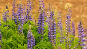 Blooming Lupin flowers. Nature background. Blooming lupine flowers on an orange background. Field of lupine. Purple spring and summer flowers. Tender warm soft Stock Images