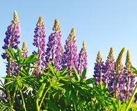 Blooming lupines Stock Images