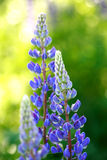 Blooming Lupines Royalty Free Stock Photography