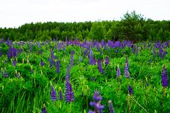 Blooming lupines in the field stock photography