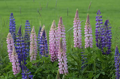 Blooming lupines on the side of road Stock Photo
