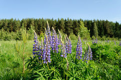 Blooming lupines in the woods Royalty Free Stock Image