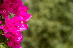 Blooming magenta Bougainvillea, Israel Stock Photo