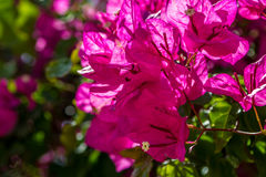 Blooming magenta Bougainvillea, Israel Stock Photography