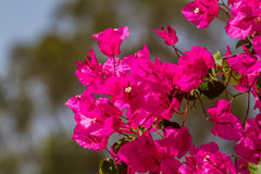 Blooming magenta Bougainvillea, Israel Royalty Free Stock Photography