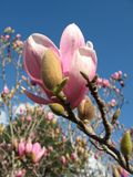 Blooming Magnolia. A stunning pink magnolia. Branches bare of leaves and a bright blue sky with a few clouds on the horizon Stock Images