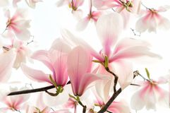 Blooming magnolia Royalty Free Stock Images