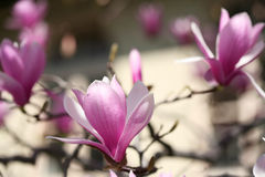 Blooming magnolia Stock Photography