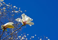Blooming magnolia Royalty Free Stock Photos