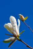 Blooming magnolia Stock Photos
