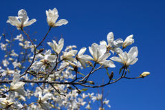 Blooming magnolia on blue sky background Stock Photos
