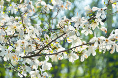 Blooming magnolia branch Stock Images
