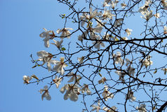 Blooming magnolia branch. White Magnolia flowers in bloom Stock Images