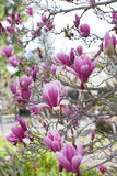 Blooming magnolia Stock Photo