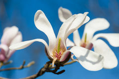 Blooming magnolia flower Royalty Free Stock Photography