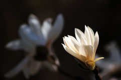 Blooming magnolia 2. Blooming magnolia flower head close up Royalty Free Stock Photography