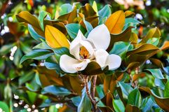Blooming magnolia flower in Madrid, Spain royalty free stock photography
