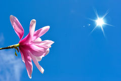 Blooming Magnolia Flower Stock Photography