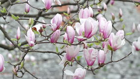 Blooming Magnolia flower tree in the city stock video footage