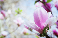 Blooming magnolia flower Stock Photo