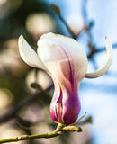 Blooming magnolia flower Stock Image