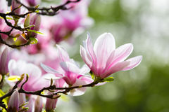 Blooming Magnolia flower Stock Images