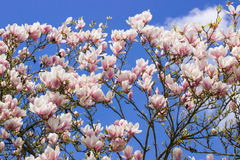 Blooming magnolia flowers on blue sky background, springtime Stock Photo