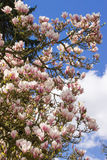 Blooming magnolia flowers on blue sky background, springtime Royalty Free Stock Photos