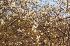 Blooming Magnolia kobus tree on sunny day. Blooming Magnolia kobus flowers on sunny spring day. Selective focus royalty free stock image