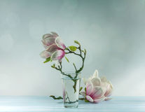 Blooming magnolia Stock Image