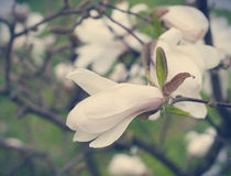 Blooming magnolia Royalty Free Stock Image