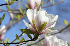 Blooming magnolia Stock Images