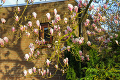 Blooming magnolia in spring Dutch city at sunset Royalty Free Stock Images