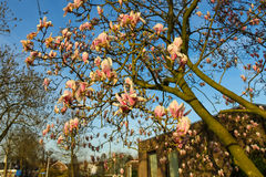 Blooming magnolia in spring Dutch city at sunset Stock Photo