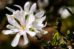 Blooming Magnolia stellata. Flowers on sunny day Stock Photos