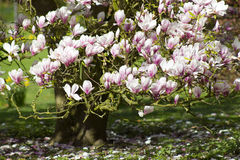 Blooming magnolia tree. Spring in the park Stock Photography