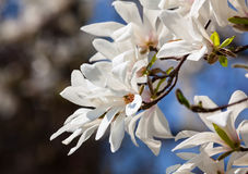 Blooming magnolia tree. Magnolia kobus. Blooming tree with white flowers stock images