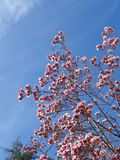 Blooming magnolia tree against blue sky. Pink flowers on magnolia tree, blue sky background Royalty Free Stock Photos