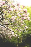 Blooming magnolia tree against green foliage. In springtime Royalty Free Stock Images