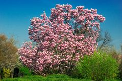 Blooming magnolia tree in april. Isolated on blue sky background Stock Photo