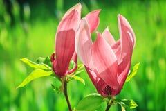 Blooming magnolia tree Stock Image