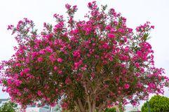 Blooming magnolia tree with beautiful flowers in the summer royalty free stock photos