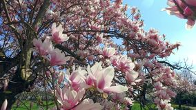 Blooming magnolia tree Magnolia. In the castle gardens of Schloss Dachau, Upper Bavaria, Bavaria, Germany, Europe stock video footage