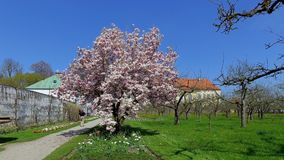 Blooming magnolia tree Magnolia. In the castle gardens of Schloss Dachau, Upper Bavaria, Bavaria, Germany, Europe stock footage
