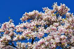 Blooming magnolia tree. On a deep blue sky stock photo