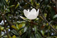 Blooming magnolia tree flower Royalty Free Stock Photography